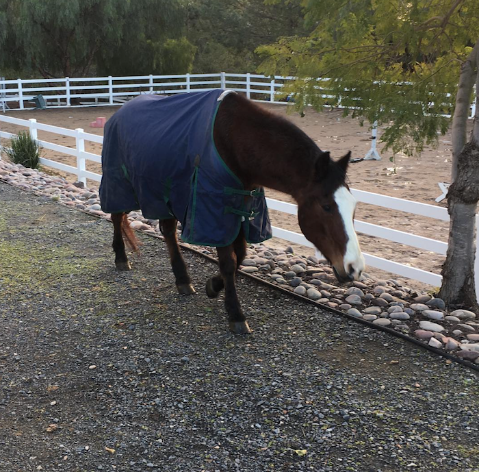 blanket-horse-with-laminitis